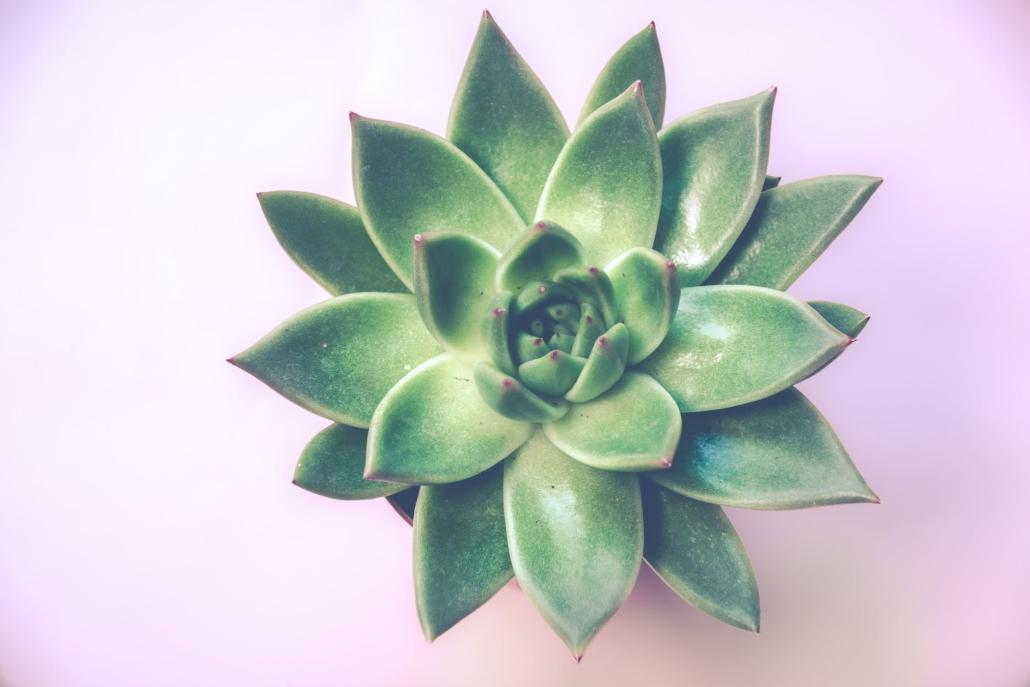 Vetplanten zijn ideale binnenplanten